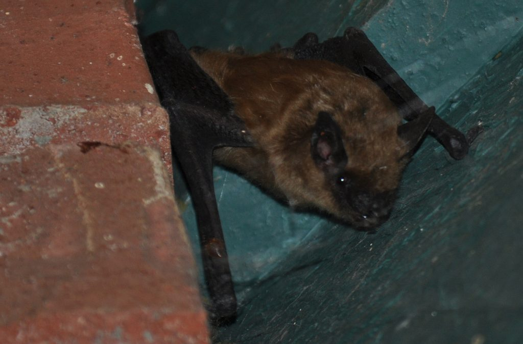 Rabid Bat Found in Seal Beach